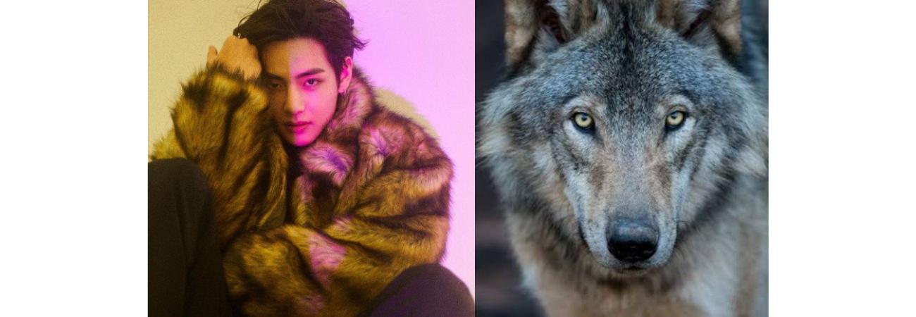 Fans de V de BTS adoptan un lobo europeo para celebrar su cumpleaños