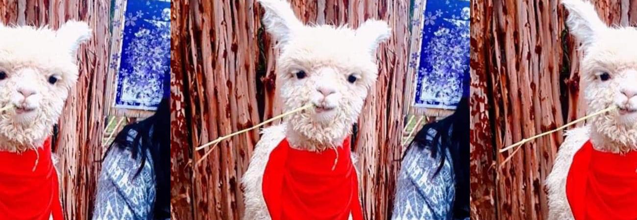 Acusan a fanbase de ARMY en Perú de adoptar una alpaca y dejarla morir